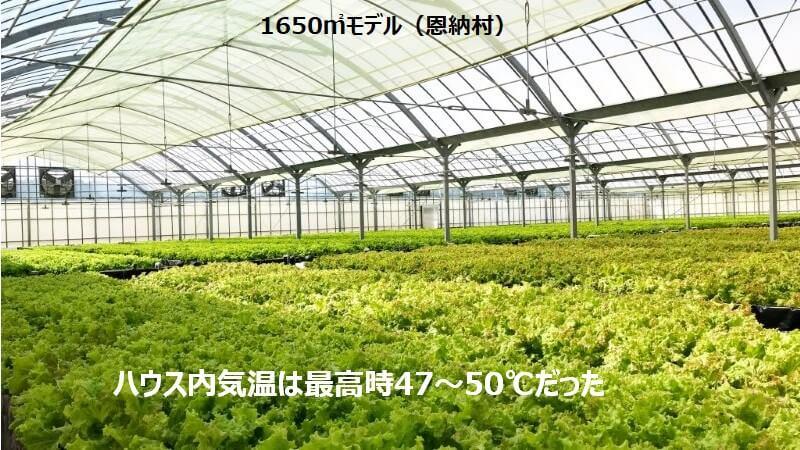 沖縄の高温下で育つレタス